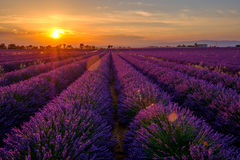 Lavender field at sunset in Provence Royalty Free Stock Images