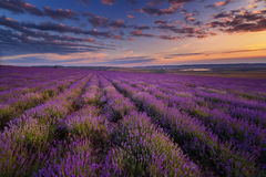 Lavender field on sunset Royalty Free Stock Photography