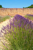 Lavender field surrounded by wall Royalty Free Stock Photo