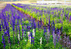 Lavender field in Thailand. Royalty Free Stock Photography