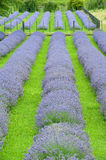 Lavender Field Three Royalty Free Stock Photography