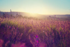 Lavender field in Tihany, Hungary royalty free stock photo