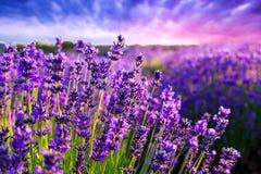 Lavender field in Tihany, Hungary Royalty Free Stock Photos