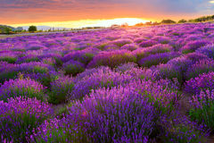 Lavender field in Tihany, Hungary Royalty Free Stock Image