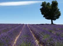 Lavender field with tree. Near Riez in the Provence in France stock images