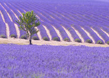 Lavender field and tree Stock Photo