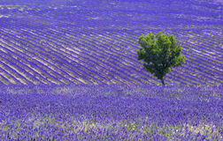 Lavender field and tree Stock Photos
