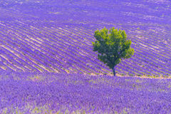 Lavender field and tree Royalty Free Stock Images