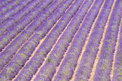 Lavender field and tree Stock Image