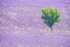 Lavender field and tree. Beautiful lavender filed in Provence with a lonely tree stock photos
