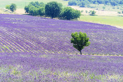 Lavender field and tree. Beautiful lavender filed in Provence with a lonely tree royalty free stock photo