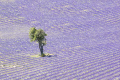 Lavender field and tree. Beautiful lavender filed in Provence with a lonely tree royalty free stock photos