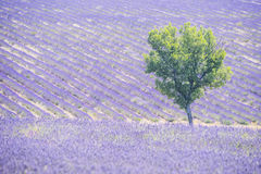 Lavender field and tree. Beautiful lavender filed in Provence with a lonely tree stock photography