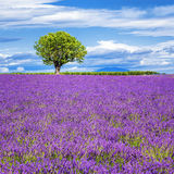Lavender field with tree Royalty Free Stock Photos