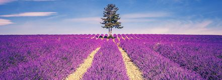 Lavender field and tree. In Provence at sunset, France stock images