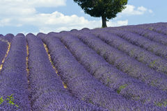 Lavender field with tree. Provence. France. Royalty Free Stock Photos