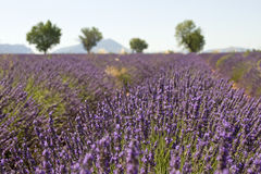 Lavender field with tree. Provence. France. Royalty Free Stock Photo