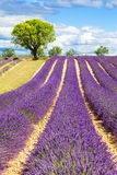 Lavender field with tree. In Provence, France stock images