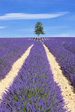 Lavender field with tree Stock Image