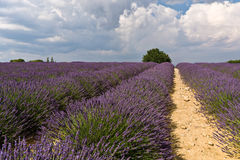 Lavender field with tree. Provence, France stock photo