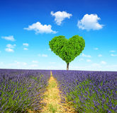 Lavender field. With tree in the shape of heart Royalty Free Stock Photography