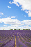 Lavender field with trees in Provence Stock Photography