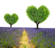 Lavender field with trees in the shape heart. On white background Stock Images