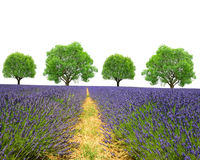 Lavender field with trees Stock Image