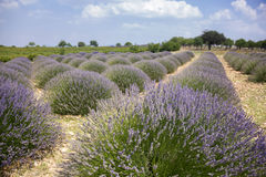 Lavender field. A lavender field in turkey ısparta Stock Image