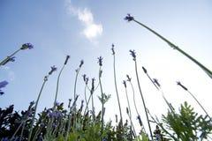 Lavender in field Stock Photo