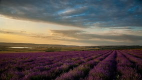 Lavender field under blue sky with clouds at sunset. stock footage
