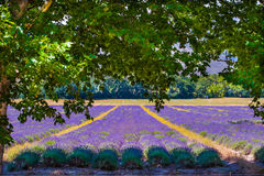Lavender field under the oaks Stock Image