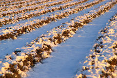 Lavender Field Under Snow Stock Images