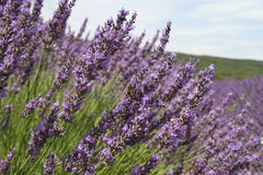 Lavender field up-close Royalty Free Stock Images