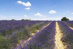 Lavender field in Valensole Royalty Free Stock Photography
