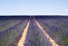 Lavender field in Valensole Stock Photography