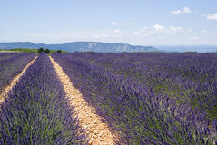Lavender field in Valensole Royalty Free Stock Images