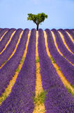 Lavender field in Valensole in summer. Provence, South of France Royalty Free Stock Images