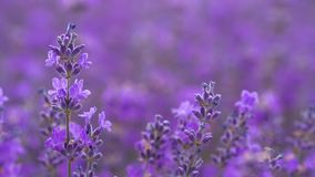 Lavender in a field stock footage