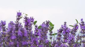 Lavender in a field stock video footage