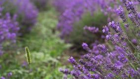 Lavender in a field stock video