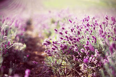 Lavender in the field Royalty Free Stock Photos