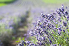 Lavender in the field Stock Photography