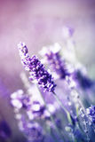 Lavender in the field - vintage photo Stock Photos