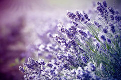 Lavender in the field - vintage photo Royalty Free Stock Image