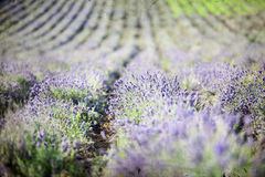 Lavender in the field - vintage photo Stock Image