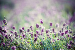 Lavender in the field - vintage photo Royalty Free Stock Photography