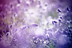 Lavender in the field - vintage photo Stock Photo