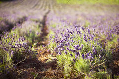 Lavender in the field - vintage photo Stock Images