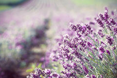 Lavender in the field - vintage photo Stock Photography